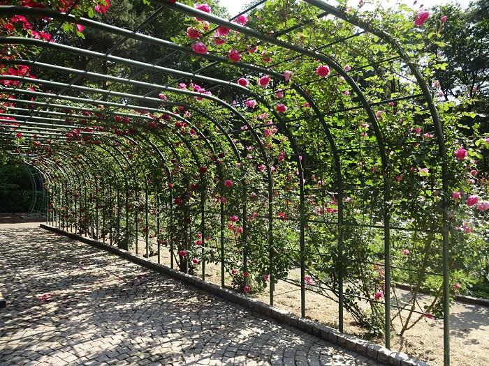 井頭公園のバラ 春の見ごろ 5月下旬~6月上旬ごろ  秋の見ごろ 10月上旬~10月中旬ごろ