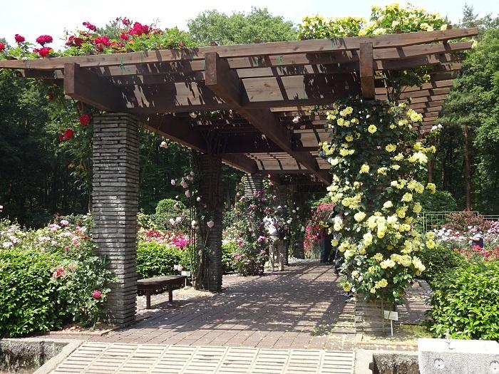 栃木県を代表する都市公園である井頭公園。アスレチックあり、サイクリングあり、また芝生広場や井頭池での貸しボートなど様々な遊戯が楽しめるスポットです。植物を見たい方にとっても見どころは満載で、コナラ・クヌギ・アカマツなどの雑木林・水生植物園・庭木や花木の見本園などがあります。  春にはバラ園が人気を集めるのと同時に、ボタン園のなかにあるシャクヤクも見ごろを迎えます。ぜひチェックしてみてください。
