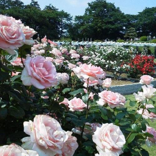 もとは小田急向ヶ丘遊園の園内にあるバラ園だったものが、遊園地の閉園にともない川崎市に引き継がれ誕生した「生田緑地ばら苑」。今は春と秋のバラのシーズンだけ開苑され、多くの人に愛されています。  苑内にはおよそ533種・4,700株のバラが咲き誇り、美しいイングリッシュガーデンを演出します。品種数も多く、小田急向ヶ丘遊園時代から大切にされてきた古い品種から新しいものまで様々。  混雑はしますが、見ごたえは十分!しかも入園無料なので、何度でも足を運びたいスポットです。坂道を上るので、歩きやすい靴でお出かけしましょう。