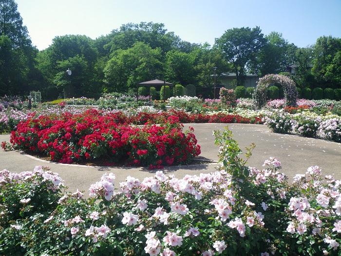 伊奈町制施行記念公園のバラ