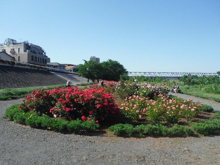 相模川ローズガーデンは、約3,000平方メートルの敷地と川沿いの斜面約370メートルに55種約1,300本のバラが植えられたバラ園です。  ほかのバラ園と違うところは、何と言ってもその広々とした河川敷の眺望です!園路もゆったりとしていて、時間をかけてバラを楽しむことができそう。