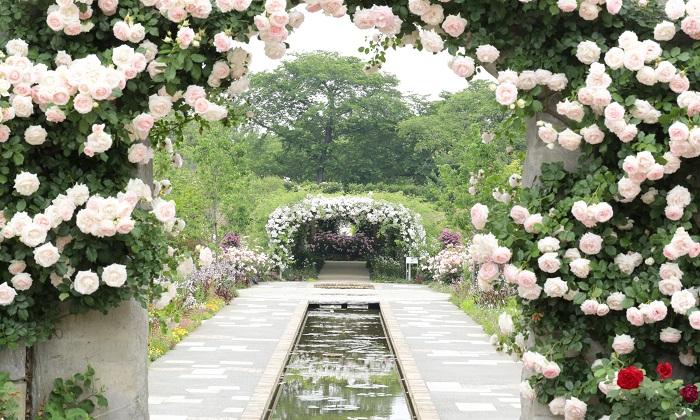 群馬県館林市にある東武トレジャーガーデンは、まるで海外旅行に行ったようなバラの風景を楽しみたい方におすすめです。  園内の「水辺のローズガーデン」には1,500種3,000株のバラと宿根草が植えられ、カラフルでボリューム感のある花園となっています。ブルーローズのラヴィリンスやフラグラントローズガーデンなど、いろいろなシーンのバラを楽しむことができます。