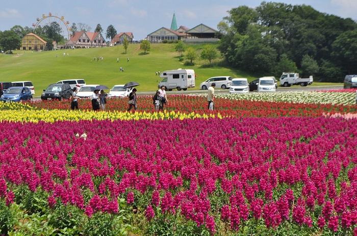 また春のバラと同時にキンギョソウも見ごろを迎えます。その数なんと7万株!国内でも最大規模です。整然と植えられたカラフルでかわいいお花をバラと一緒に楽しみましょう。