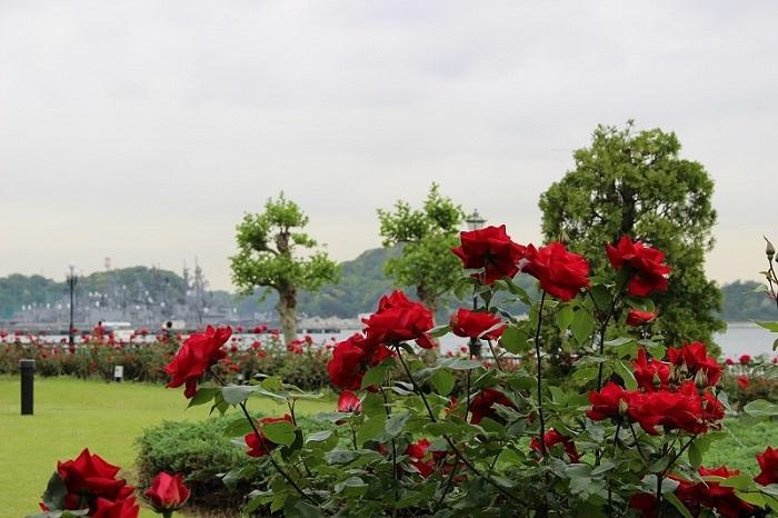 バラはいろいろなシーンを飾るにふさわしい花ですが、とくに似合う風景のひとつに港が挙げられるのではないでしょうか。今回ご紹介するのは、横須賀港を間近に望む神奈川県横須賀市のヴェルニー公園です。ヴェルニー公園は横須賀製鉄所の建設に貢献したフランス人技師ヴェルニーにちなんで整備された公園で、園内は幾何学的なフランス整形式庭園の方式で整えられています。そこに咲くバラは約1,400株。毎年春秋のバラの時期にはローズフェスタが開催され、多くの人を楽しませています。