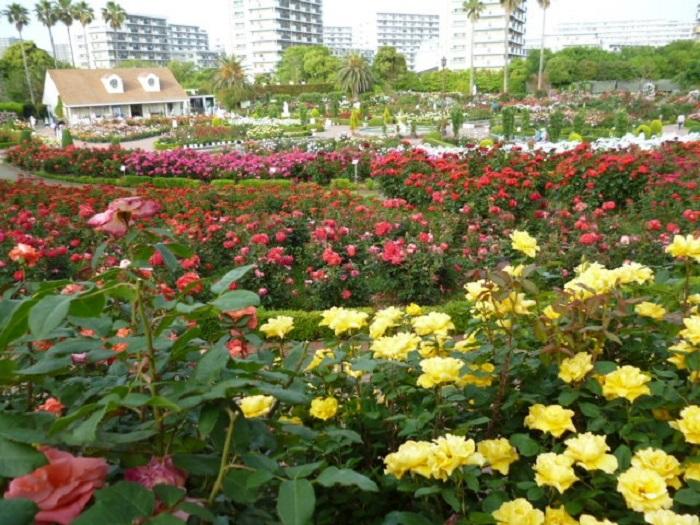 千葉県習志野市にある谷津バラ園。遠出してでも見る価値のある大変充実したバラ園です。こぢんまりした園内には、800種類・7,500株の世界中のバラが集められています。一歩足を踏み入れれば、あふれてしまいそうなバラの色彩を楽しむことができます。