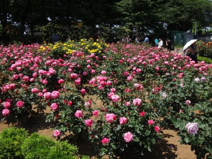 与野公園のバラ