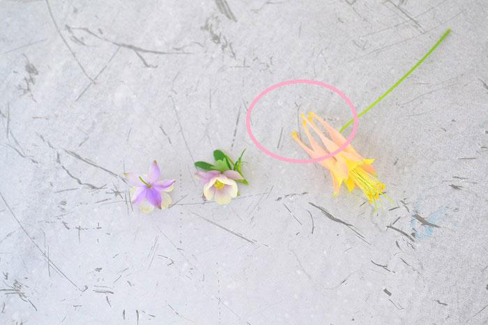 オダマキと風鈴オダマキには見た目の違いがあります。  写真右はオダマキ。オダマキは5枚のガクの後ろがとんがっていて横から見ると王冠のような形をしています。このとんがった部分は、距(キョ)と呼ばれていて、品種によってキョは写真のように長いものもあれば、短いものもあります。一方、写真左の風鈴オダマキにはキョがないので一目で見分けることができます。オダマキも風鈴オダマキも見れば見るほど不思議な形、自然の創り出す形はすごいですね。