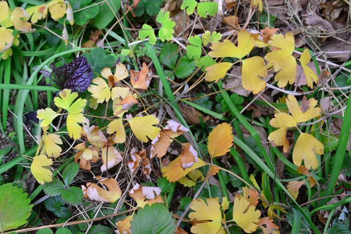 初冬のオダマキ  オダマキ、風鈴オダマキは宿根草です。東京で11~12月ごろになると写真のように葉っぱが黄色くなり、最終的には冬場は葉っぱがなくなります。