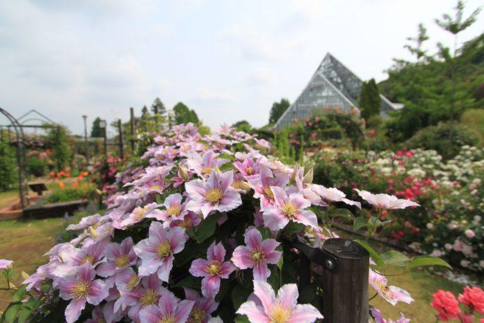 約290品種450株以上が栽培されているクレマチス。見ごろは見頃4月中旬~6月中旬です。