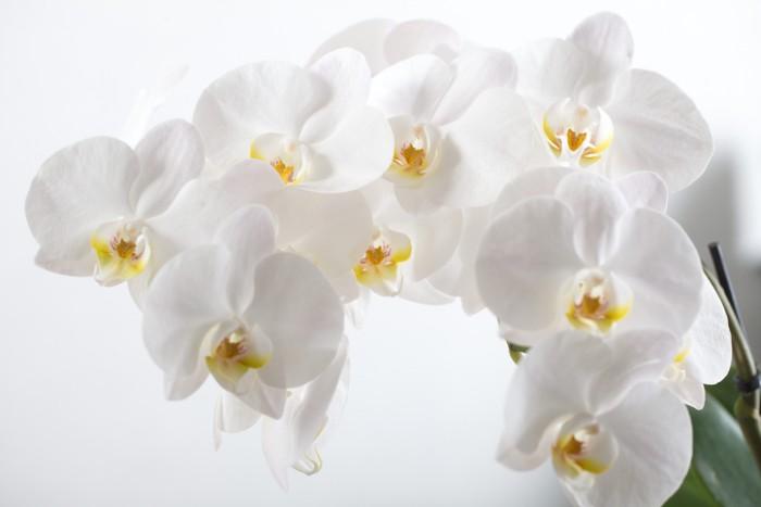 ランの中でもひときわ優雅なコチョウラン。色も多彩で、お祝いに贈るお花として、定番のイメージが定着しています。  蝶々が飛ぶ様子を思い起こさせることから、「幸せが飛んでくる」という花言葉を持ちます。  シックな白色、落ち着きのある紫色、優しい様子のクリーム色、どの色を贈っても、コチョウランは華やかさで気品もあり、贈った相手に喜ばれます。