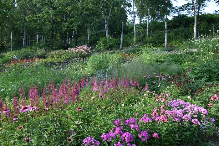 夏の様子  森の花園「カムイミンタラ」では、今は30cmほどの草丈のペルシカリアなども生長すると1~2m程の大きさになり風に揺れるさまはダイナミックな趣になるそうです。  これから季節の移り変わりと共に、春の花にとって代わり様々な初夏の花が咲き出します。