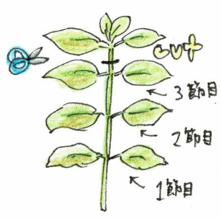バジルが20cm以上生長したら2~3節目で摘芯します(もちろん3~5節目で摘芯してもOK!)。