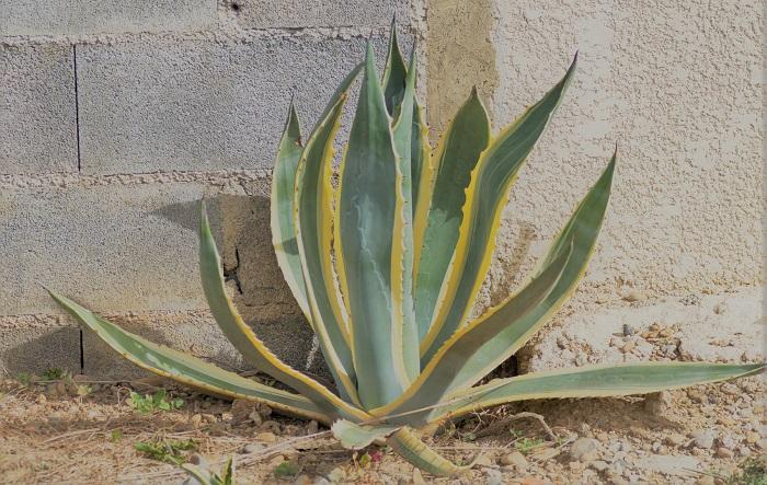 アガベとアロエの関係についてお話しましょう。肉厚でトゲのある葉など、形状が似ていることから近縁種だと思われがちですが、アガベとアロエは全く違う植物です。 アロエはユリ科アロエ属の植物です。見た目の大きな特徴は、アロエは幹を持つのに対しアガベは茎が短くほとんどないと言えるくらいです。