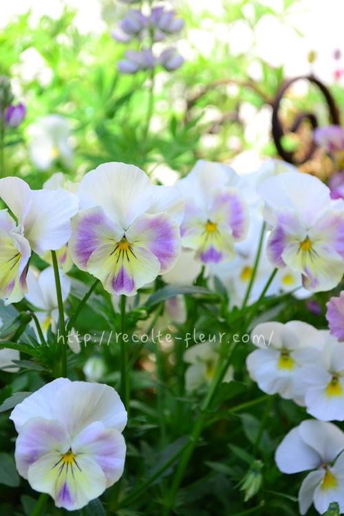開花時期 10月~5月  パンジー、ビオラの本来の開花時期は春ですが、最近では秋ごろから苗が流通しているため、長期間開花する草花として利用されています。最近は切り花としても流通しています。  気温が低い時期は花茎が短いパンジー、ビオラですが、春になってくると茎が伸びてくるので小さな花あしらいに大活躍。