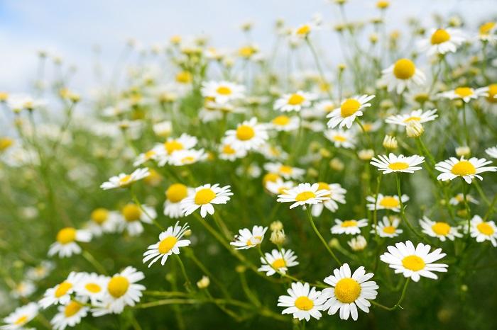 カモミールという植物についてお話する前に、基本的な情報をご紹介します。  カモミール 和名:カミツレ(加蜜列)  科名:キク科  分類:一年草あるいは多年草  花色:白  花期:5月~9月(真夏は休む)    カモミールは現在ではほとんどの大陸に帰化していると言われています。糸のような華奢な葉に、白く小さなデイジーのようなお花を咲かせます。その愛らしい見た目とは裏腹に非常に強健で、真夏以外は春から秋まで花を咲かせます。