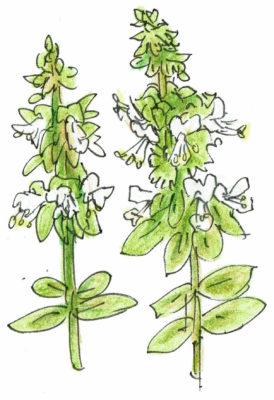 ・バジルの摘花・摘蕾  葉菜類・ハーブ類は花が咲いてしまうと茎葉が固くなり、種をつけて枯れてしまいます。長く収穫できるようにバジルの花や蕾は、苗の衰えを防ぐためにも取り除きましょう。