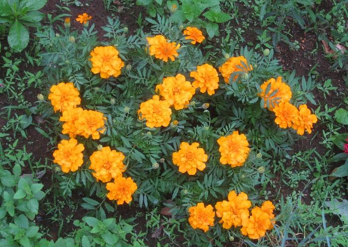 土が乾いたらたっぷり水をあげます。水やりの際は、なるべく花に水がかからないように株元に水をあげるのが望ましいですが、気温が高くて乾燥する時期はハダニがつきやすいので、夕方以降の涼しい時間帯に葉にもたっぷりと水をかけてハダニを予防しましょう。