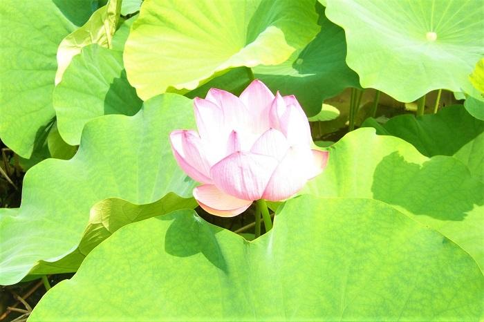 ハス(蓮) 科名:ハス科ハス属  学名:Nelmubo nucifera  英名:Lotus  分類:多年生水生植物  草丈:水面から1.5~2m  花期:7月  蓮の花は夏、初夏というには暑くなってから、でもうだるような真夏の暑さになる前という頃になると咲き始めます。季節は7月頃です。7月の後半のこともあれば前半のこともあります。その年の気温によって変わります。  水面からすーっと伸びた茎の先に青々とした大きな丸い葉を開かせます。その葉の間から、同じようにすーっと茎を伸ばしピンク色の花を咲かせます。白花種もあります。  家庭で育てやすいサイズの小型の「チャワンバス」という種類もあります。