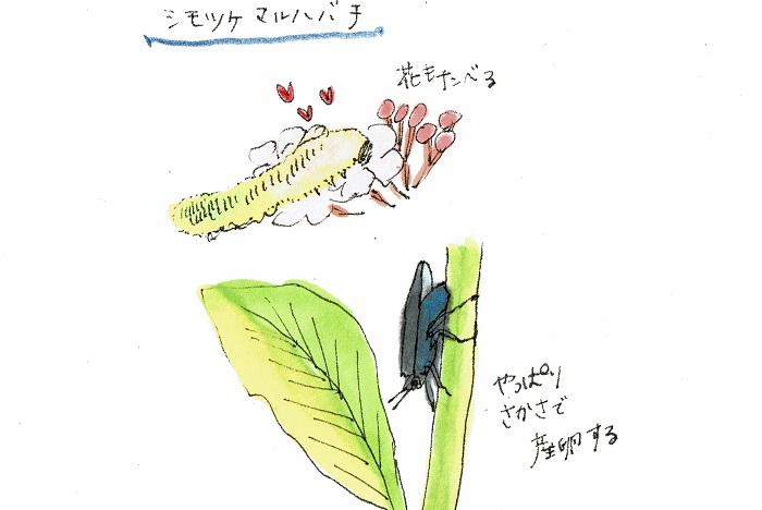 シモツケの葉が太い葉脈を残してなくなっており、現場には脱皮した後の皮が残されていました。