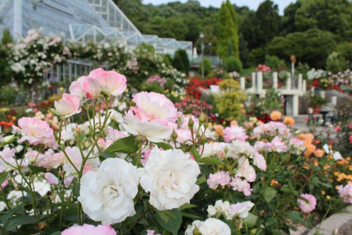 約480品種1400株が植栽されたバラ園。春バラと秋バラの両方が楽しめます。見ごろは見頃5月下旬~6月中旬、10月中です。