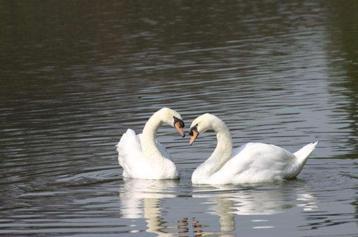 2008年3月13日に植物園の大池にやってきたコブハクチョウ2羽。2001年に北海道旭川市旭山動物園で生まれました。2羽はとっても仲良しでいつも一緒です。とても人懐っこい性格で、人を見つけると、近くにやってきてくれます。大池で優雅に泳ぐハクチョウを是非見に来てください。