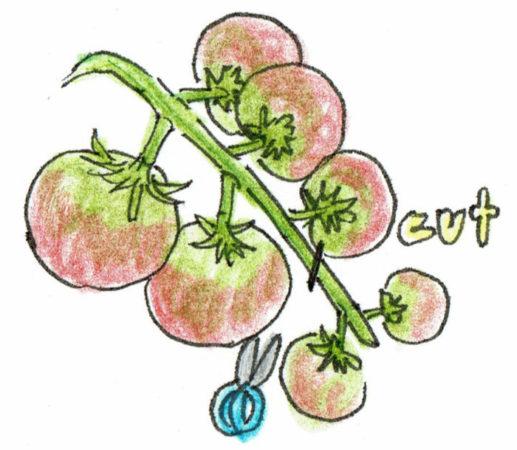 トマトの着果個数を制限することで、充実した実を育て、苗の衰えを防ぎます。