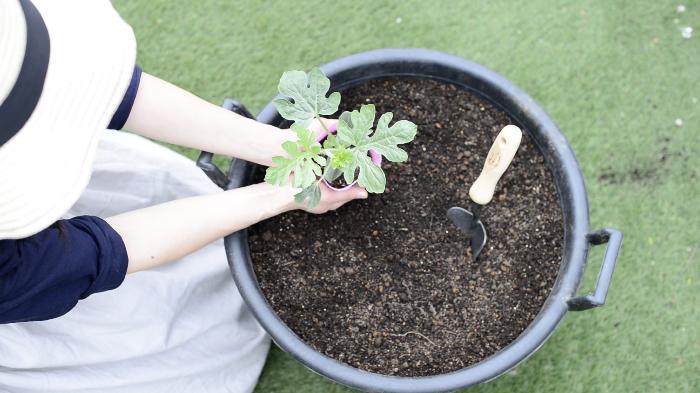 春夏野菜の苗の植え付けの季節になりましたね♪ 今年のベランダ菜園~sana garden~で栽培する春夏野菜は、プランターで小玉スイカに挑戦したいと思います! 小玉スイカは育てる過程で摘芯や整枝、人工授粉といった作業があり、家庭菜園のレベルとして中級者以上の難易度ですが、卵くらいの大きさの小玉スイカが少しずつ大きくなっていく姿は、可愛くて愛おしくなるほどです。 また、つる性の植物なのでグリーンカーテンとして育てたり、支柱を立ててティピーテントみたいに可愛く栽培していきましょう♪