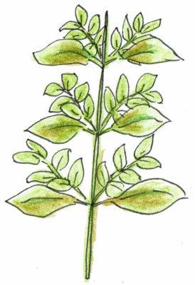 ・バジルの収穫をかねたわき芽の摘芯  1枚ずつ葉を収穫するか混みあった部分を茎ごと摘芯収穫します。  イメージとして、次から次へと生長してくる新芽の生育を促すように摘芯収穫していきましょう。