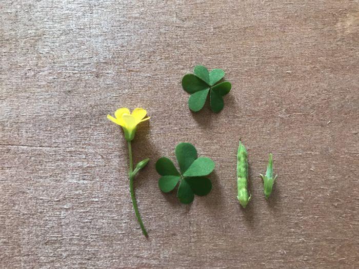 ■植物名 カタバミ(片喰)  ■学名 Oxalis corniculata  ■英名 Yellow sorrel  ■科名 カタバミ科カタバミ属  ■多年草  「カタバミ」は多年草で、路上の片隅や庭、原っぱ等に生えているカタバミ科の植物です。  葉は3枚が一組になっていて可愛いハート型をしていて、花は明るい黄色、大きさは1cm程で5枚に花びらが分かれています。  花や葉はお日様が射す日は1日4時間程開きます。季節は春4月~10月。  茎は10cm~30cm程の長さになり、地上を這いながら斜めに葉や花を立ち上がらせています。  花や葉は夜に閉じて朝に咲くをくりかえし、お日様の射さない日は花びらは閉じています。  種はオクラのような形をしていて熟れてくるとパチンと弾けます。  何気なく、とおり過ぎてしまう雑草と呼ばれる植物ですが観察するとユニークで興味が湧いてくる可愛くて面白い植物です。