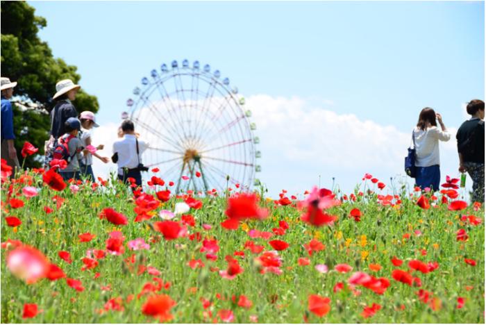 豊かな草花を家族や大切な人たちとゆったりと楽しみながら過ごすことができる、国営ひたち海浜公園です。「みはらしの丘」から見ることのできる一面のネモフィラも有名ですが、その他にも園内の豊かな花畑や草原、青い海を眺めながらゆったりと楽しめるシーサイドトレイン、大観覧車などもおすすめです。