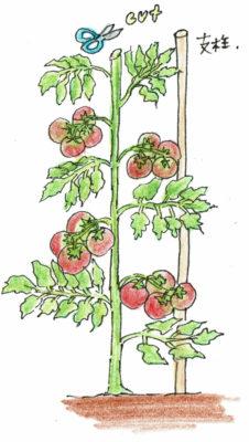 主枝が支柱の高さくらいになったら、上の葉を2枚残して摘芯しましょう。
