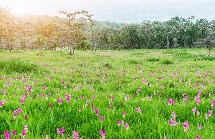 観賞用クルクマは球根でも鉢植えでも流通しています。せっかくの機会ですからクルクマを自宅で育ててみませんか。クルクマは耐寒性がなく冬越しが難しいので春に植えて夏に花を楽しみ、秋に掘り上げるというサイクルで管理します。