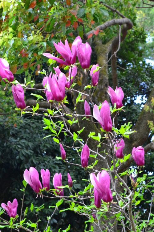 3月4月に咲く春の花 モクレン