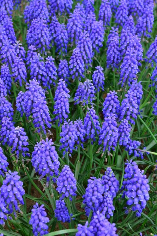 花の時期 3月~5月  ムスカリは草丈15cmくらいで葡萄のような花を咲かせます。とても耐寒性の強い花で、こぼれ種や自然分球で増え、毎年自然に花が咲きます。 小さな花ながら、花壇に群生させたムスカリが一斉に咲きそろった光景は見事です。チューリップなどの同じ時期に咲く球根花との色のコントラストも美しく、チューリップの脇役として使われます。一度植えると、数年は植えっぱなしでも大丈夫なので、管理が楽な球根花です。