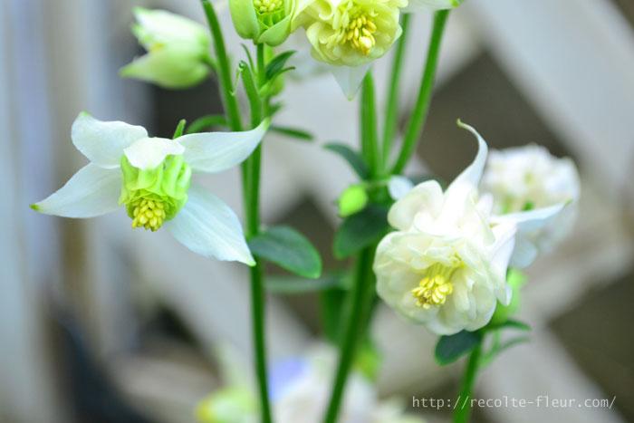 宿根草の中には植えると年々株が大きくなり長い年月同じ株から開花するものもありますが、オダマキや風鈴オダマキは、比較的寿命の短い宿根草です。気に入った品種は種で更新していくことが一般的です。ただしオダマキは交雑しやすいので、いろいろなオダマキを近くに植えていると、種が混ざりやすい特徴があります。種まきして咲いたら色や咲き方がちょっと違うということもあります。