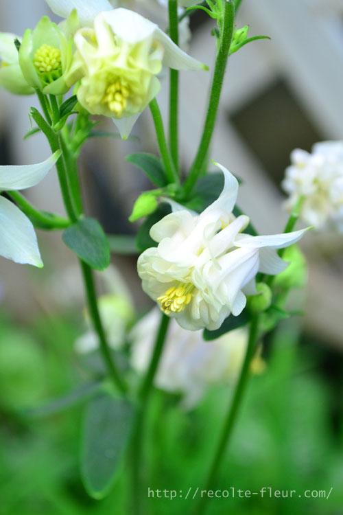 八重咲きの高性タイプのオダマキ