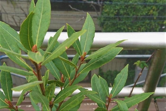 月桂樹は常緑の中高木で、非常に生育旺盛な樹木です。日本の気候にもよく馴染み、日当たりが悪くても丈夫に育つので庭植えの樹木として人気です。  雌雄異株で葉の脇に見逃してしまいそうな小さな黄緑色の花を咲かせます。昆虫を介して受粉しますが結実に至ることは少ないようです。種がひとつ入った黒く小さな実をつけることがあります。