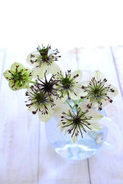 ニゲラは5月頃から初夏にかけて花が咲く1年草の草花です。花も葉も独特なフォルムで小さめながら、その雰囲気はとても存在感がある草花です。繊細そうですが性質は強く、環境が合えばこぼれ種でも増えます。花びらに見える部分はがく片で、本来の花びらは退化して目立たない形状です。最近では様々な品種があって、切り花としても色々な品種が流通しています。