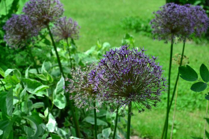 開花時期5月~7月  球状の形が印象的なアリウム。庭に植えると5月から6月上旬くらいに咲く球根の花です。アリウムはたくさんの品種があり、品種によって花丈や花の大きさも違います。切り花として出回るのも開花の時期と同じ初夏のころです。  つぼみの時点ではゴルフボールより少し大きいくらいのサイズが、開花すると花のサイズはつぼみの3~5倍のサイズになります。広い空間に植えると、とても効果的な球根の花です。