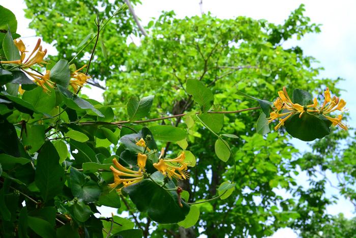 開花時期5月~10月  ハニーサックルは半落葉のつる植物。とてもよい香りのするハニーサックルの花は5月ごろから開花しはじめます。最近ガーデニングの素材として、次々と新しい品種も作られるようになり、色合いなども豊富になりました。  ハニーサックルはとても成長力が強い植物です。つる性であることを生かして、クレマチスと同じような立体的な空間を作るのに適しています。とても大きくなるので、フェンスやトレリス、アーチなどに這わせると見事な光景になります。