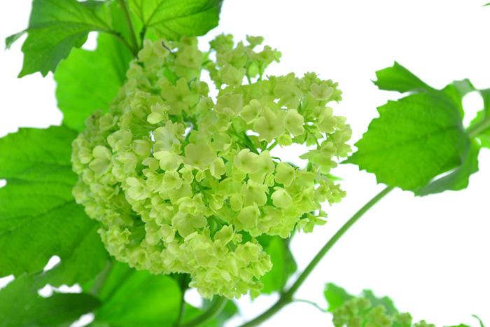 開花時期5月  ビバーナム・スノーボールは、アジサイをひと回り小さくしたようなボール状の花を初夏に咲かせる落葉低木です。新緑の季節にぴったりなライムグリーン色のボール状のかわいい花で、花色がグリーン色なので他の花との色合わせがしやすいこともあって植栽として人気の庭木です。  ビバーナム・スノーボールは切り花としても流通しています。最近は輸入物を含めると通年見かける花材になりつつありますが、一番流通量が多いのは、花の咲く時期の5月~6月です。  ビバーナム・スノーボールの葉っぱの色は新緑の季節にぴったりな若緑色。花は咲き始めはライムグリーン色、咲き進むと白に変化していきます。庭木として、このグリーンから白色への変化は、2週間くらいかかります。