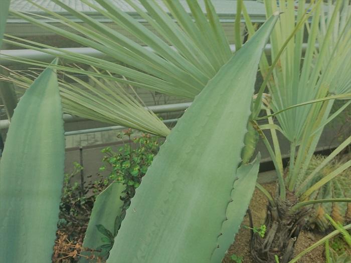 アガベは300種を超すと言われているほど品種の多い植物です。その中でも日本でもなじみの深い品種をご紹介します。