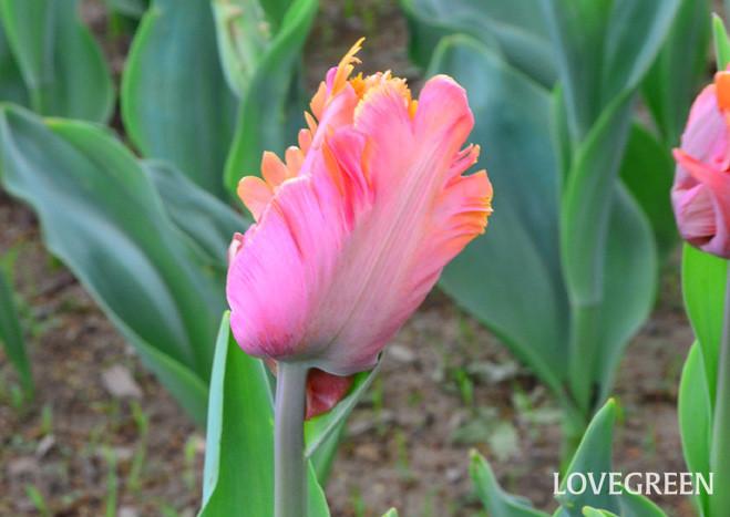 パーロット咲きチューリップ