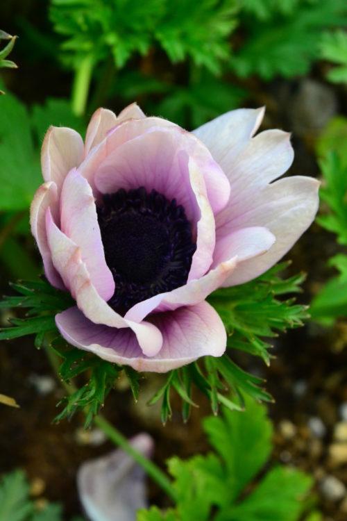 花の時期 2月~5月  アネモネは分枝性の塊茎をもち、草丈25~40cmになるキンポウゲ科の球根の花で、直立して直径10cm前後の花を咲かせます。和名はボタンイチゲ(牡丹一華)やハナイチゲ(花一華)といいます。まだ花の少ない2月下旬ごろから5月頃までと花の咲く期間が長く、赤、白、ピンク、紫や青など豊富な花色や一重だけでなく半八重や八重など花形の異なる多くの品種があり切り花や花壇で広く栽培されています。  球根のアネモネが最も流通が多いアネモネですが、宿根草の種もあり開花時期の違うアネモネもあります。