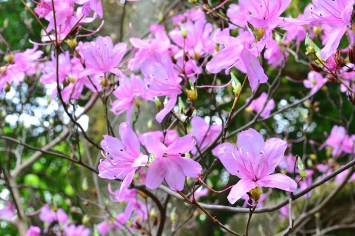 開花時期 4月~6月  ツツジ科のツツジ・サツキ・アザレアは、とても色鮮やかで印象的な植物で、日本全国で生垣などとしてよく使われる花木です。サツキ、アザレアはツツジの仲間なので花はとてもよく似ています。違いのひとつは開花時期。ツツジとアザレアは、4月~5月、サツキは5月~6月が花の時期です。また、花の咲き方にも違いがあり、ツツジとアザレアは花が一斉に咲きますが、サツキは1週間ほどかけて順々に開花します。
