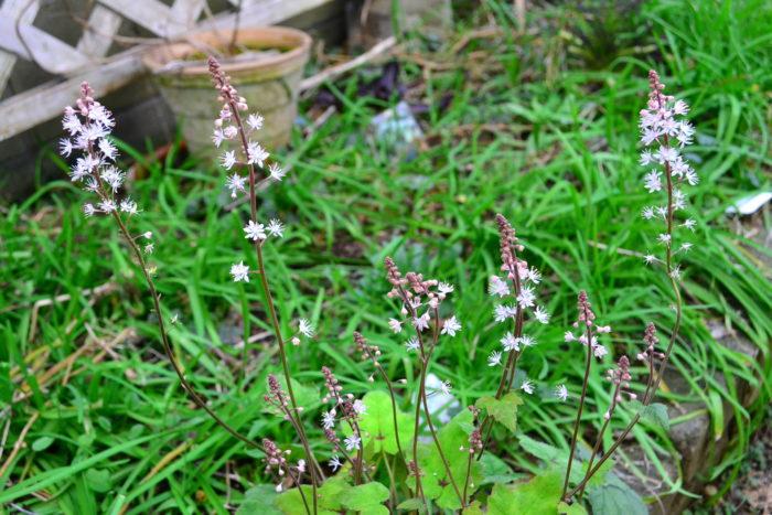 ティアレラの花が見たい方は3月~初夏ぐらいまで花つきの苗が流通します。ティアレラはとても丈夫な植物で花もたくさん咲くので、シェードガーデン(日陰の庭)に植える植物を探している方は取り入れてみてはいかがでしょうか。