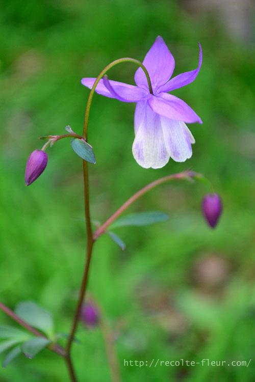 ガクと花びらの色合いが違う2色咲き。つぼみから開花した時の色の変化が美しいです。