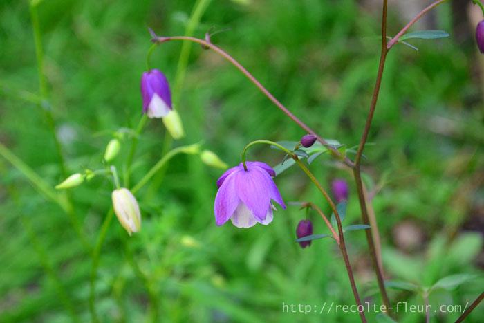 春の初めに地面から新芽の芽吹きを発見した時はとても嬉しい瞬間です。オダマキ、風鈴オダマキは高温多湿の夏さえ越せば、育て方はとても簡単な草花です。春のガーデニングに取り入れてみませんか?