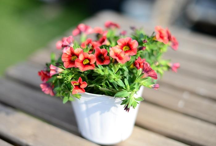 カリブラコア サンバ ナス科 非耐寒性多年草 開花期:5~10月   ペチュニアの近縁種。ペチュニアより花が小さ目で繊細なイメージです。  日なたと水はけのよい用土を好みます。伸びすぎたら半分に切り戻して追肥すると再び開花します。ペチュニアと同じく長雨にあたると花が傷みやすいので、梅雨など雨が続く時は屋根のある場所に移動させて育てましょう。