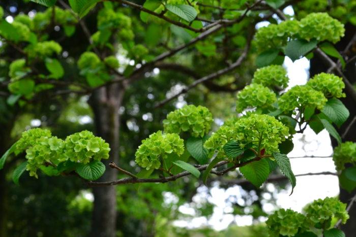花の付き方は植物によって様々。例えば、アジサイは枝の頂点に花をつけますが、オオデマリは違います。オオデマリの花は、主軸の枝から横に広がるように枝が伸び、その枝から短い枝が出てきて花が開花します。